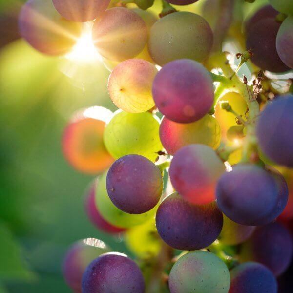 grapes-3550733_1920