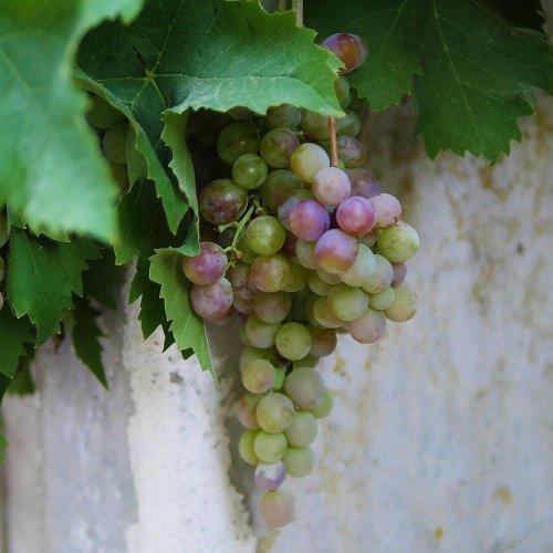 vine-3076462_1920-min